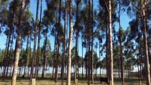 Eukalypten in Südamerika (Paraguay)