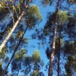 Die hohen Eukalypten aus Paraguay