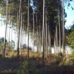 Hier wird Eukalyptusholz in Reih und Glied angepflanzt