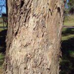 Rinde der Eukalypte