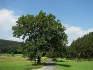 Eschenholz hat eine sehr ausgeprägte Maserung die sogar nach dem Beizen noch sichtbar ist.