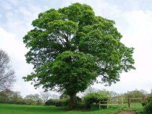 Die Krone eines Ahornbaums