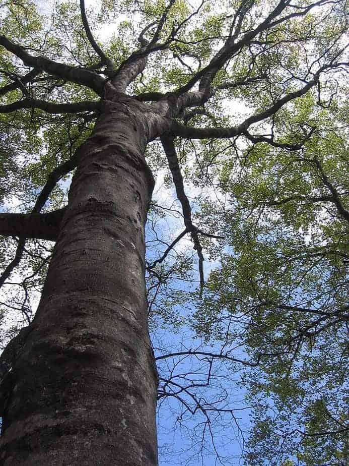 Japanisches Flächenmaß 7 holzart fakten f 252 r macher die buche alle buchenarten 183 baubeaver
