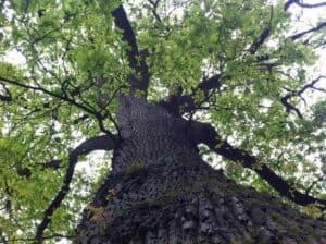 Die Holzart Eiche mit ihrem markanten Stamm