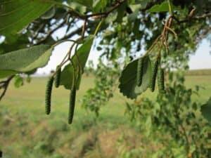 Die Früchte der Erle