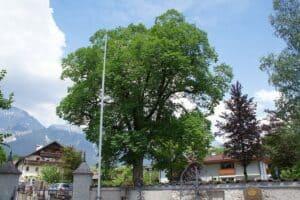 Ulmenholz hat ein sehr lebhaftes Holzbild.