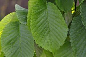 Frische Ulmenblätter