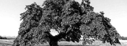 Ulmenholz