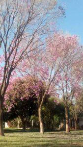 Ipe / Lapacho Baum in Paraguay