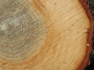 Kernholz und Splintholz der Stieleiche
