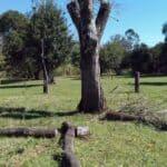Abgeschnittener Ipe/ Lapacho Baum