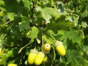 Die Blätter und die Frucht einer Stieleiche