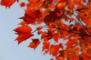 Ahornholz lässt sich wunderbar schnitzen und hat eine einmalig schöne Farbe.