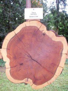 Querschnitt durch einen Eibenholzstamm.