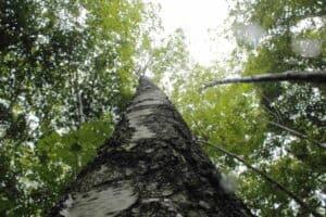 Eine Birke im Wald
