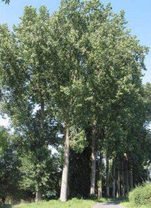 Bild 6: Kanadische Pappel