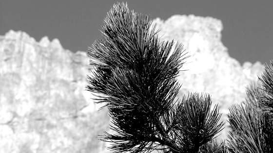 zirbe-zirbenholz-artikelbild